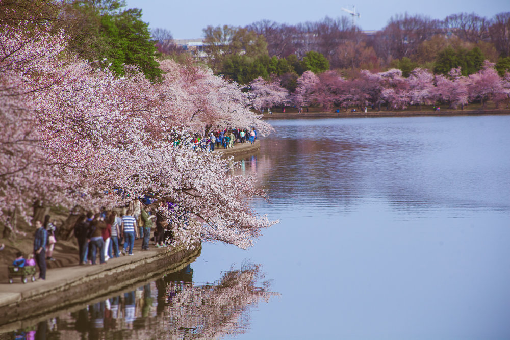 Cherry Blossoms 2017 - 017.jpg