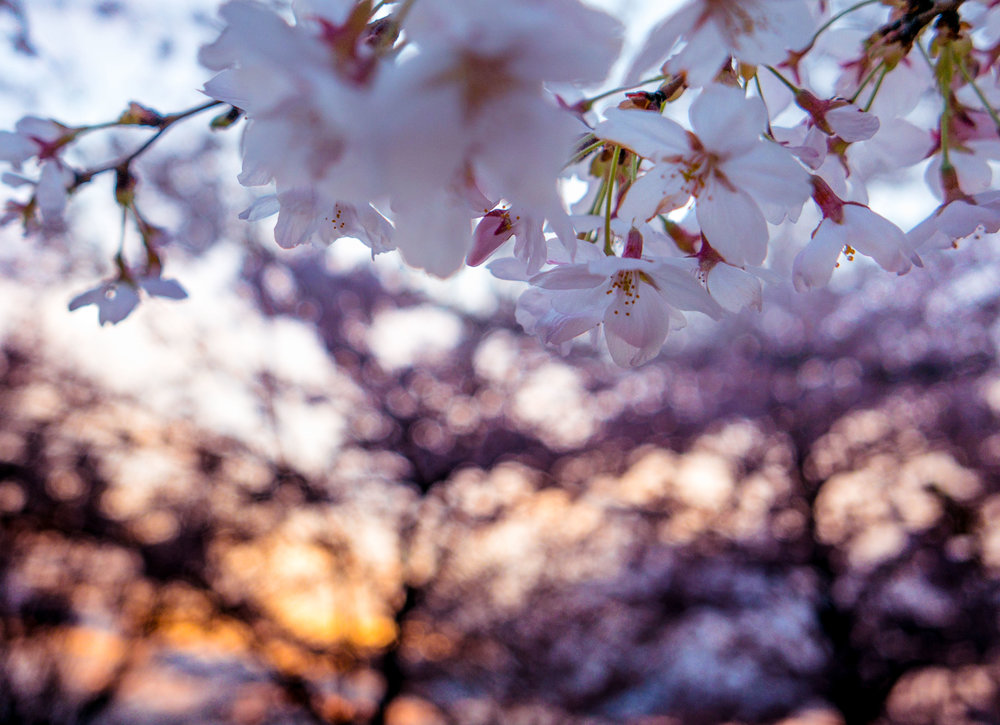 Cherry Blossoms At Night 2017 - 002.jpg