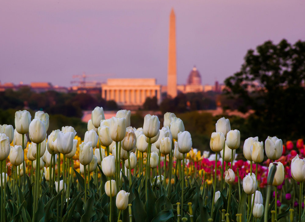 Lincoln Tulips Spring Sunset.jpg