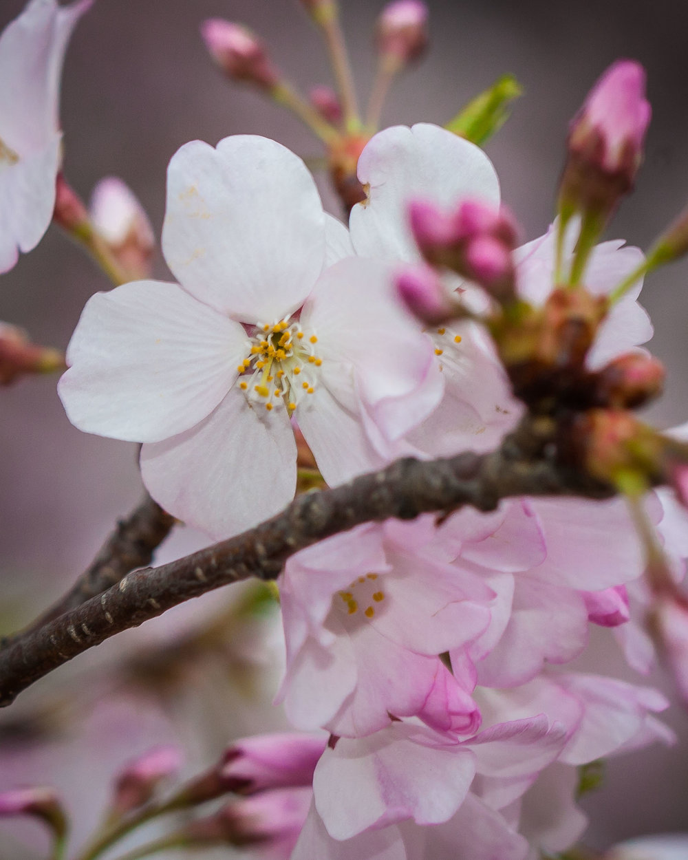 Cherry Blossoms 2016 -001.jpg