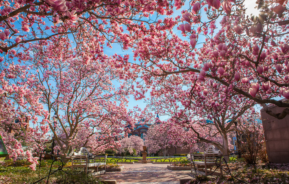 Cherry Blossoms 2016 -040.jpg