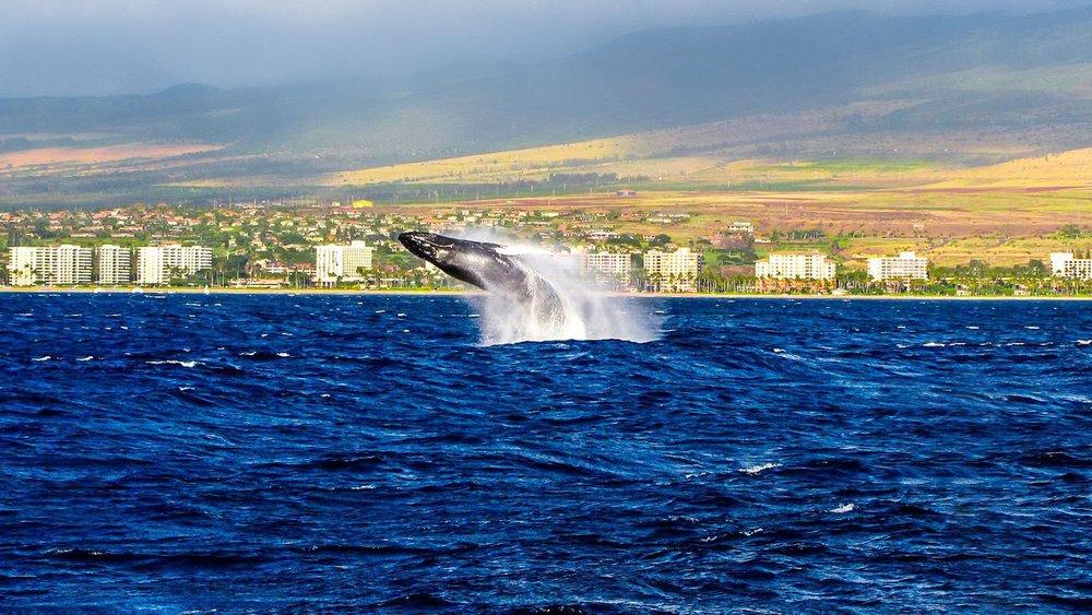 Hawaii - Kaanapali Coast Whale.jpg