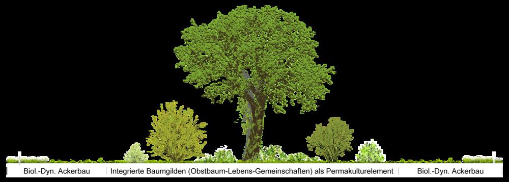 """Zum Waldgarten gehören drei Vegetationsschichten: Bäume, Sträucher und Kräuter. Im Gegensatz zum natürlichen Wald werden diese Schichten gezielt durch Nutzpflanzen ersetzt. (Details) In «Baumgilden», den Einzelelementen von Waldgärten, leben die Bäume in Symbiose mit meist mehrjährigen Wild- und Kulturgemüse, Kräutern, Beerensträuchern und Wildgehölzen. Dabei finden sich Pflanzen mit verschiedenen Funktionen: In einer Baumgilde finden sich zudem Pflanzen mit verschiedenen Funktionen: 1. Nutzpflanzen, z.B. Obst, Nuss, Gemüse, Getreide, Holz, ... 2. Förderpflanzen, die den Luftstickstoff binden und für andere Pflanzen verfügbar machen z.B. Leguminosen oder Mineralsalze aus tiefen Schichten nach oben fördern, z.B. Beinwell. Diese leben in Symbiose mit Knöllchenbakterien (Rhizobien), die den Luftstickstoff binden und somit den Boden auf natürliche Weise düngen. Darunter befinden sich einige """"Pionierpflanzen"""". Bekannte Vertreter sind Pflanzen aus der Familie der Hülsenfrüchte (Leguminosen), z.B. Lupinen, Bohnen, Erbsen, Linsen und Robinien. Einige Förderpflanzen werden zur Gründüngung eingesetzt. In der Permakultur sind Förderpflanzen elementarer Bestandteil verschiedener Mischpflanzungen. 3. Ablenkungspflanzen, die Schädlinge von Nutz- und Förderpflanzen fernhalten, in dem sie diese auf sich selbst locken oder auf Distanz halten, z.B. Topinambur Allgemein soll in der Permakultur ein Element möglichst viele Funktionen besitzen, als auch eine Funktion in möglichst vielen Elementen vorhanden sein. Eine Pflanze kann daher auch innerhalb einer Baumgilde mehrere Funtionen besitzen, die sich im Laufe der Vegetationsperiode auch verändern. Dadurch entsteht eine grosse, stabile und produktive Pfanzenvielfalt."""