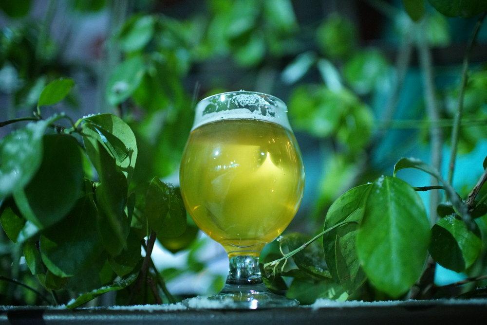 beer within hop vines