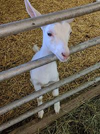Goat- Rock Ridge Dairy 002.jpg