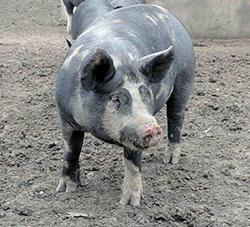 Berkshire pig at Irving Farm Fresh