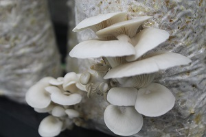 Ceres Solutions oyster mushrooms