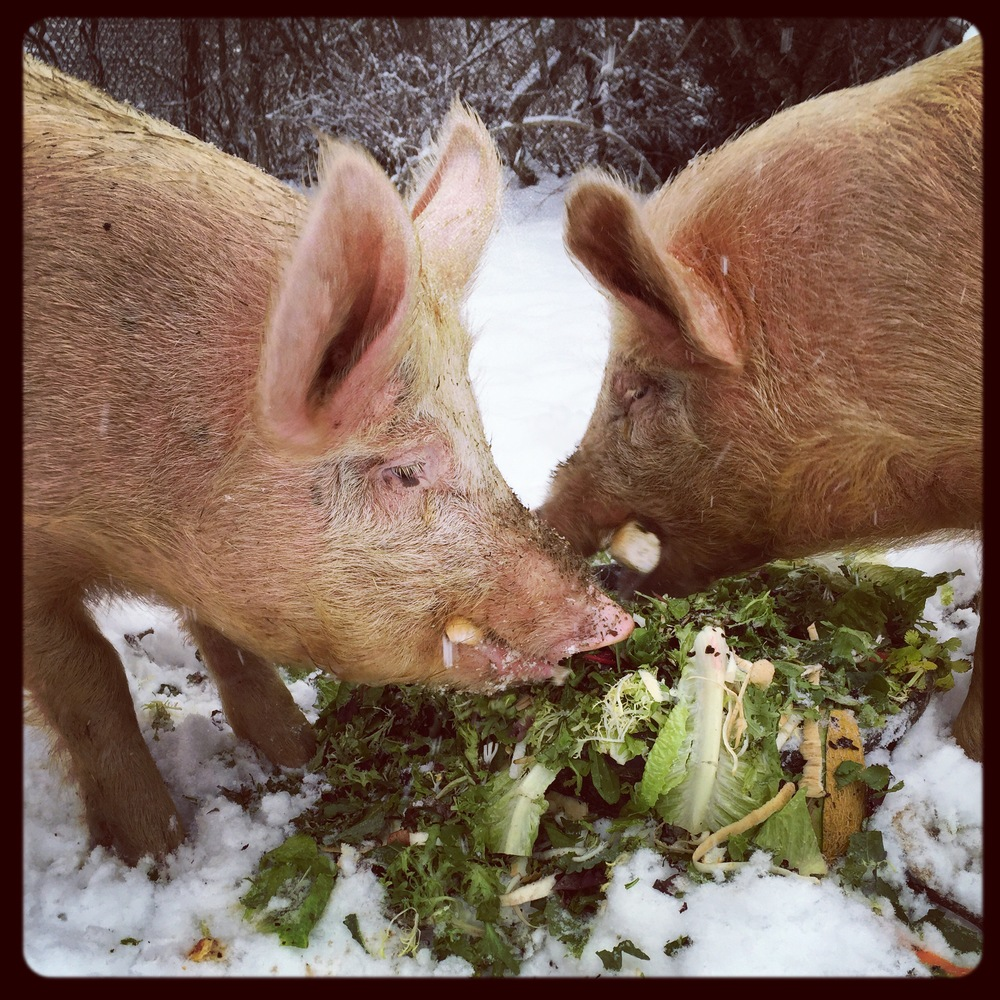 Thanks to the farm-to-table-to-farm program at Crabtree's Kittle House in  Chappaqua, NY, our animals eat very well.