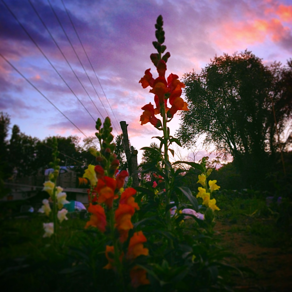 snapdragons at dusk