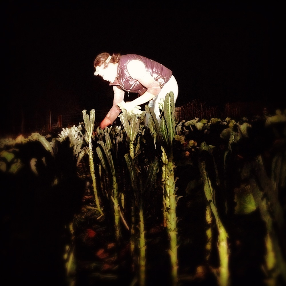 the crazy things farmers do... late night kale harvest