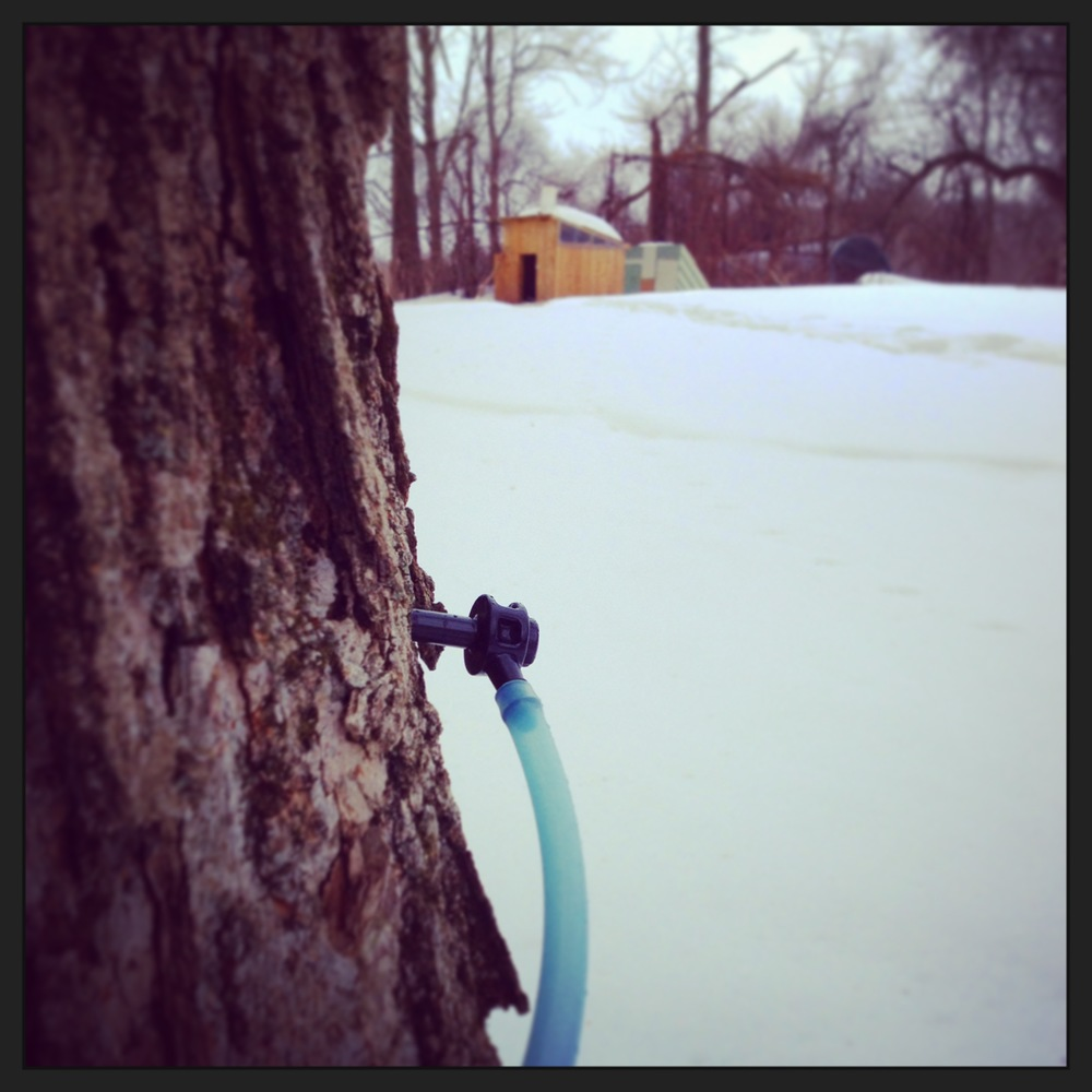 spile & tubing to collect the sap