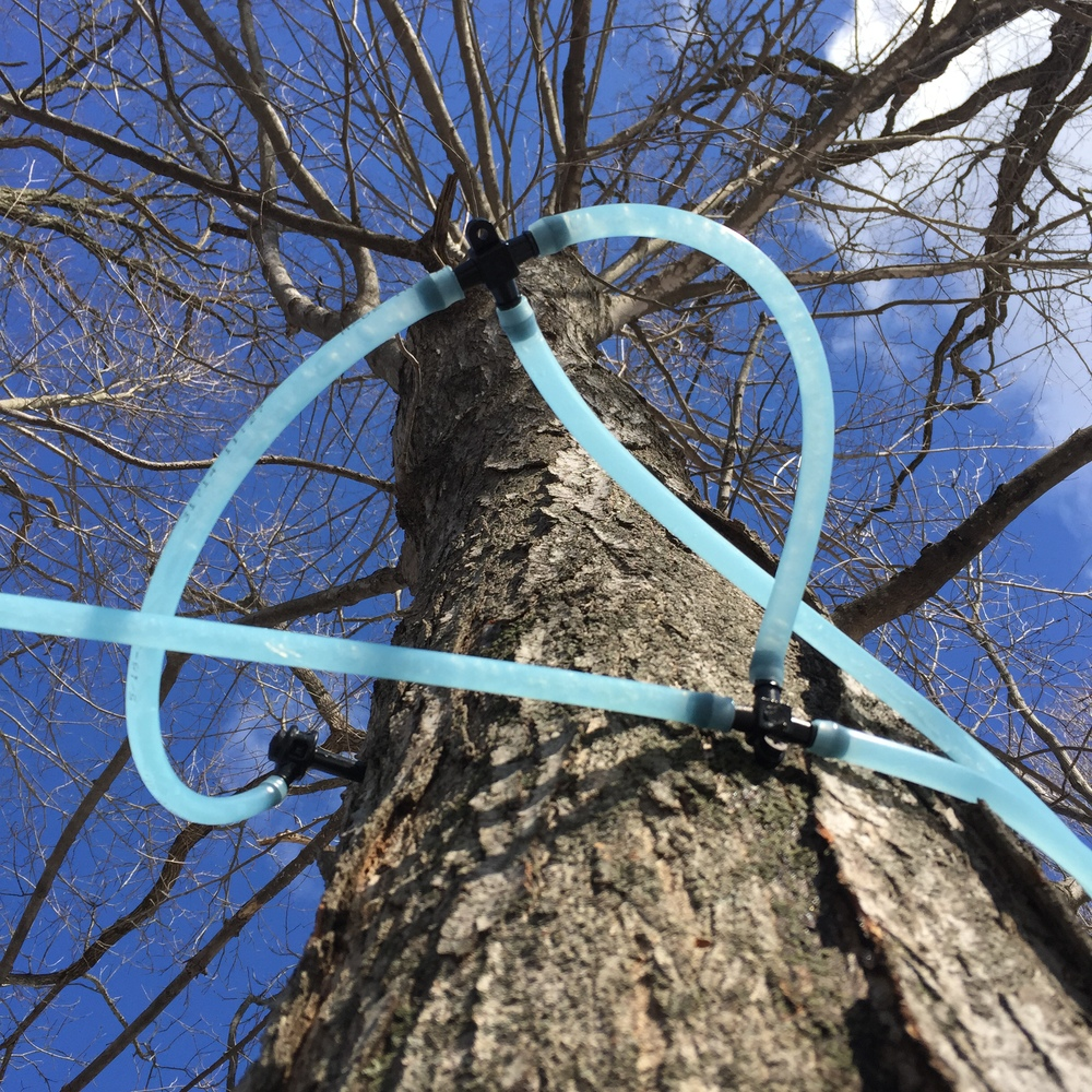 sap lines and the giving tree
