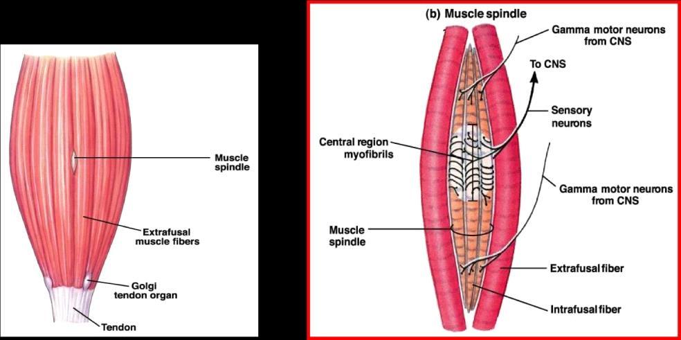 Muscle Spindle.jpg