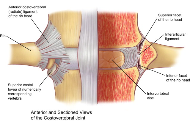 Radial Ligament (Left) and Intra-articular Ligament (RIght)