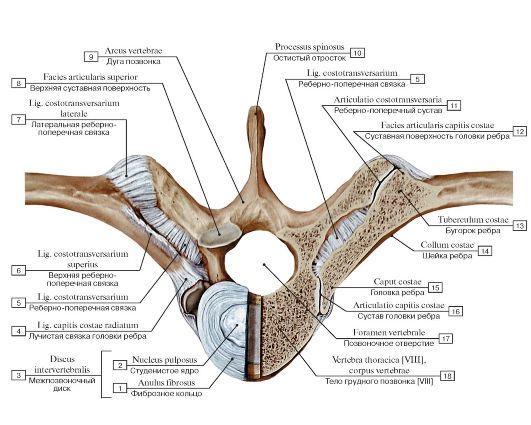 Rib articulation with the vertebra (back).