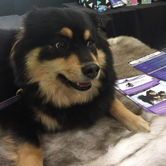 How beautiful is she? We had lots of pats and cuddles at the Finnish Lapphund stand @thedogloversshow 😘😘 #sydney #weekend #dogsofinstgram #petstyle #josephlyddypetindulgence #finnishlapphund #puppy #puppies #dog
