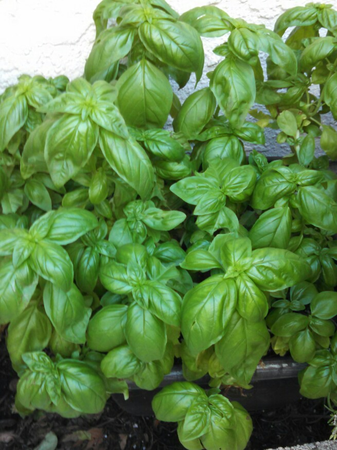 Fresh basil from my garden goes into my easy homemade pesto
