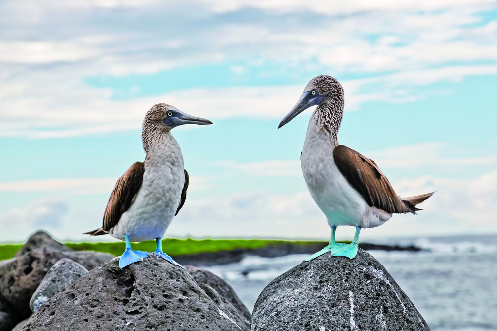 bigstock-Blue-footed-Booby-95217437.jpg