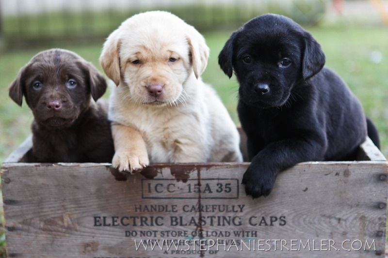 LabPuppies-100