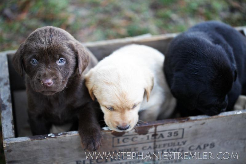 LabPuppies-102