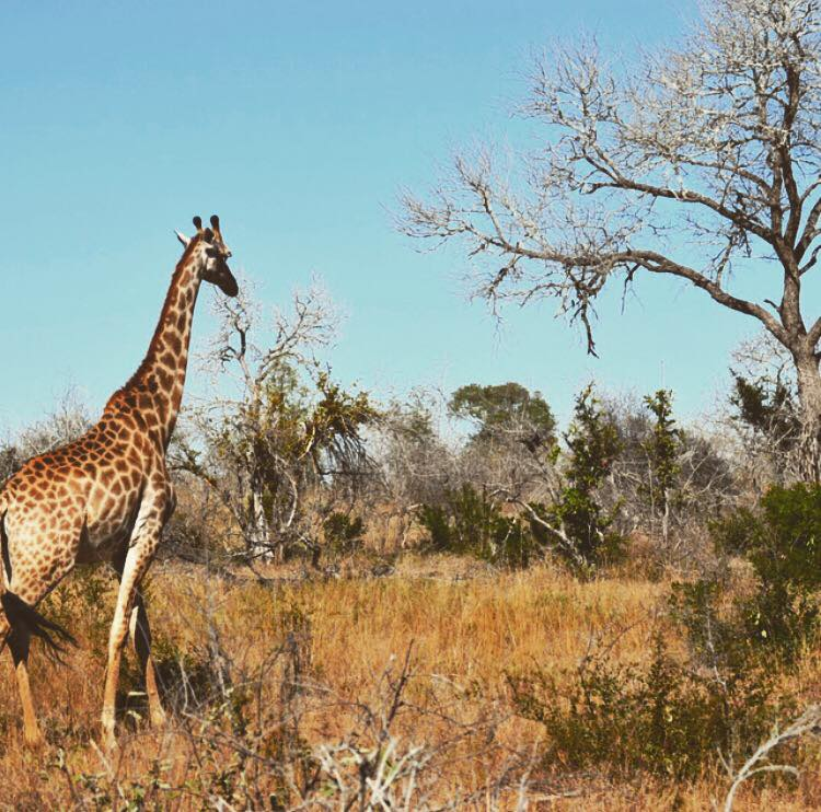 South Africa_Giraffe.jpg