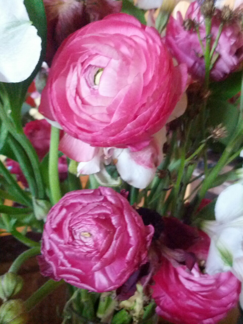 Valentine's Day ranunculus finally blooming!