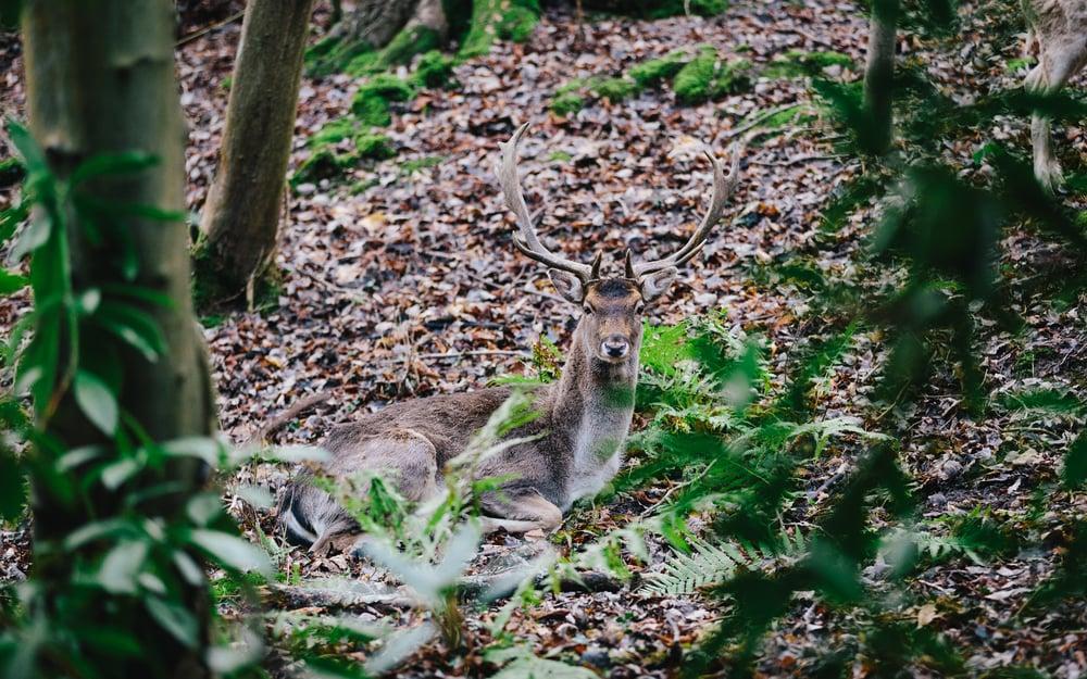 Deer-6.jpg
