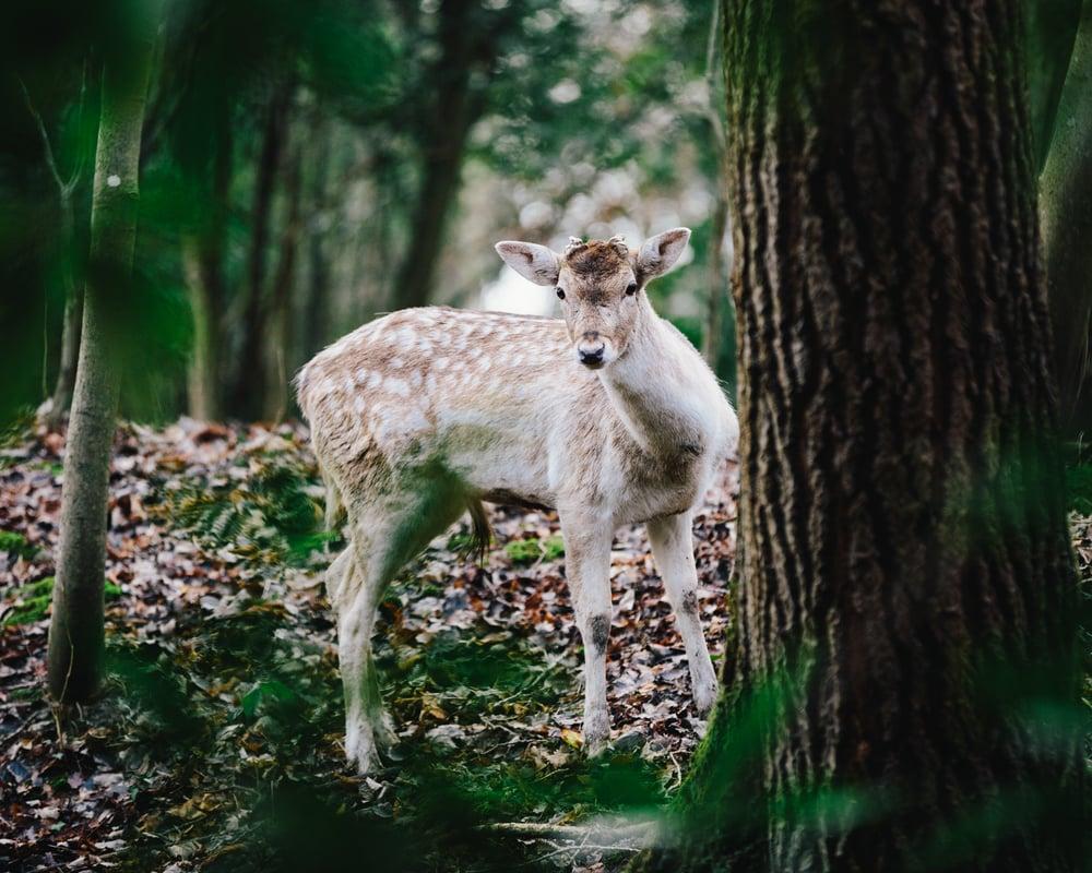 Deer-7.jpg