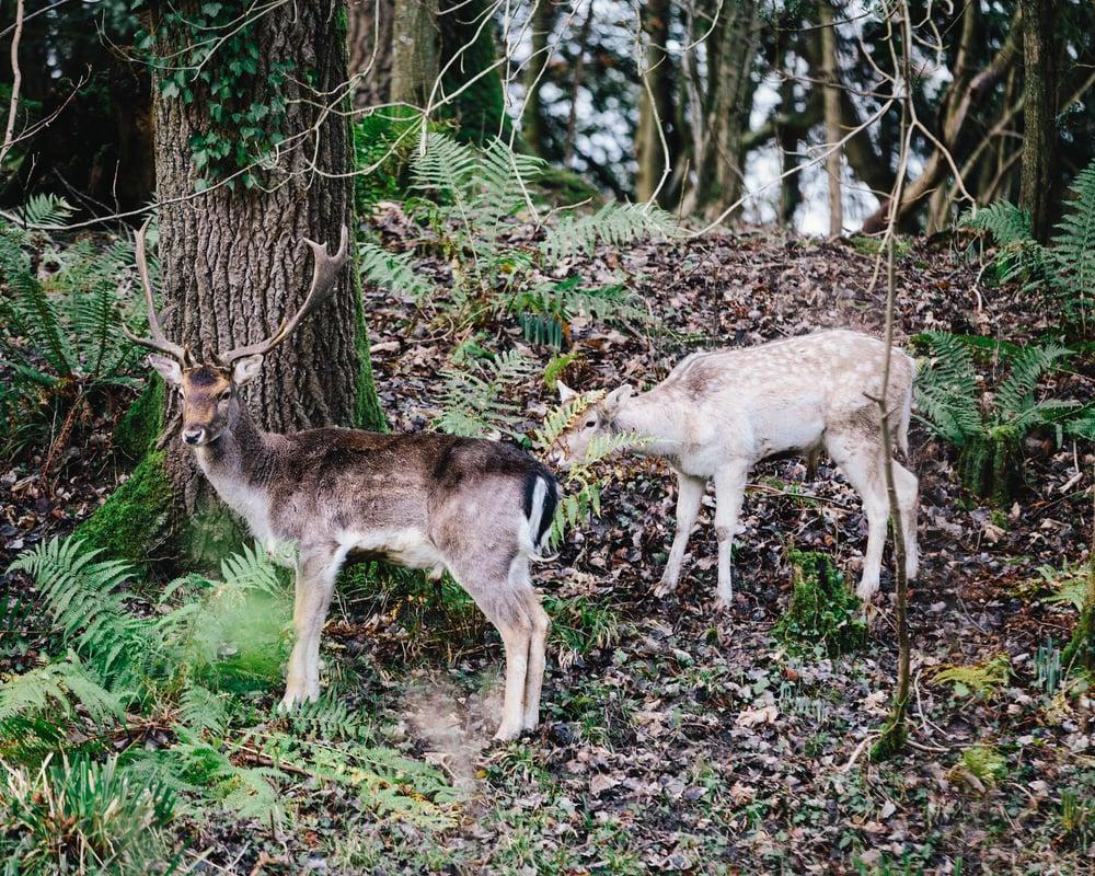 Deer-11.jpg