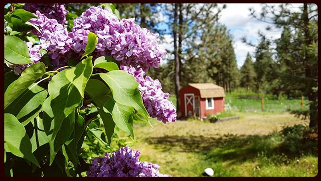 @prairieskyfarm... The #lilacs. #sky #greenery #redbarn #ponderosapines. A hundred things that say #home.