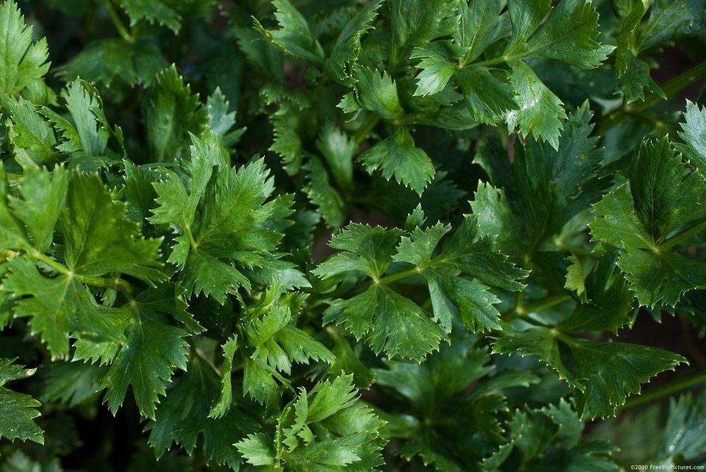 celery-leaves.jpg