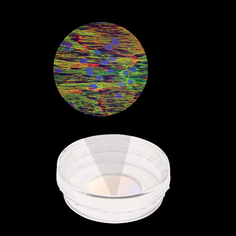CDI iCell cardiomyocytes on a NanoSurface dish.