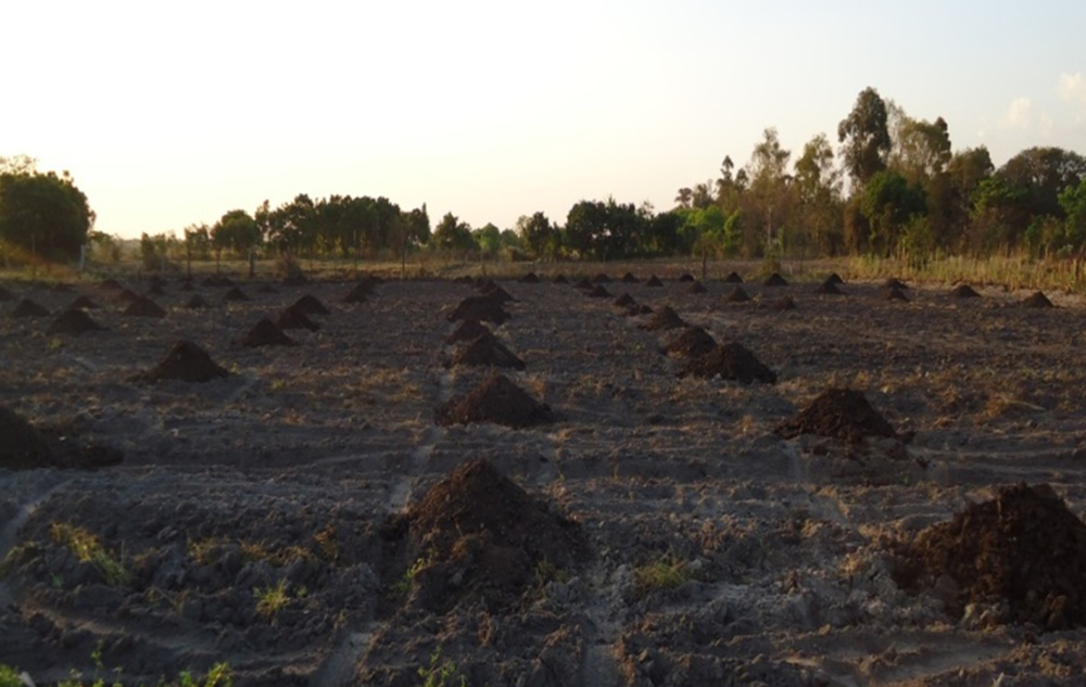 Figure 1: Soil amendments of cattle manure incorporated before land preparation