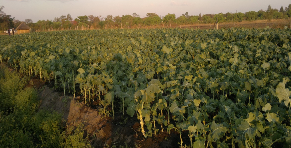 Figure 3: Vegetable farming in Chiota Communal lands, Mashonaland East Province, Zimbabwe (2015)