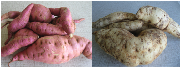 Different varieties of sweet potato tubers, locally known as GermanyII (left) and Chingovha (right)