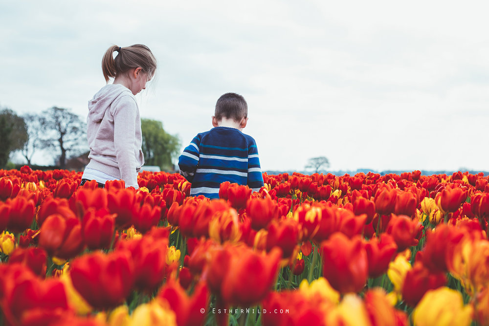 © Esther Wild Photographer Kings Lynn Tulips Belmont Nurseries