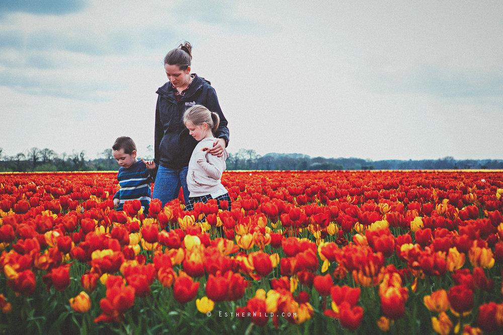 © Esther Wild Photographer Kings Lynn Tulips Belmont Nurseries