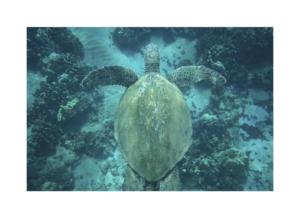turtle_maui.jpg