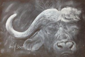 Cape+buffalo+Ian.jpg