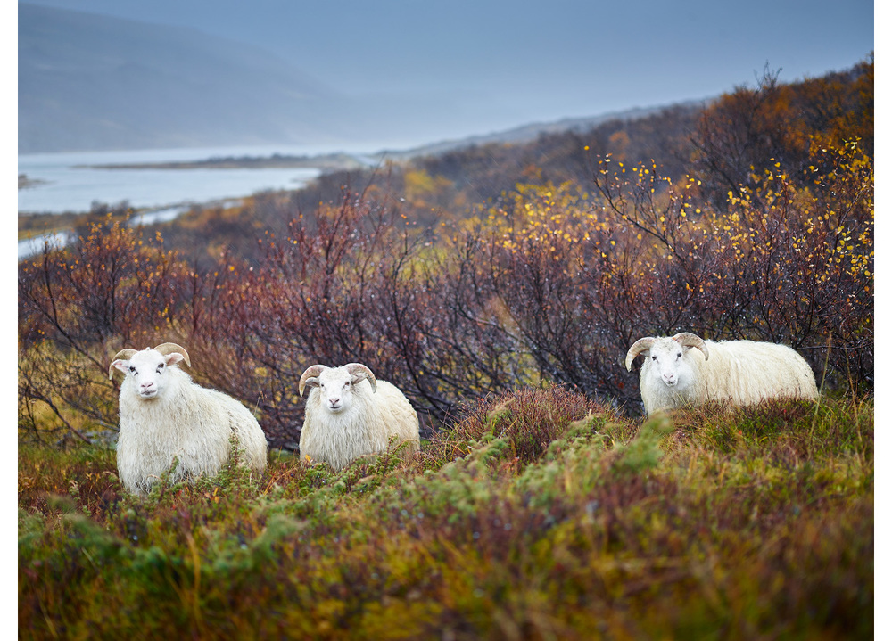 Raindrop Flock, Iceland