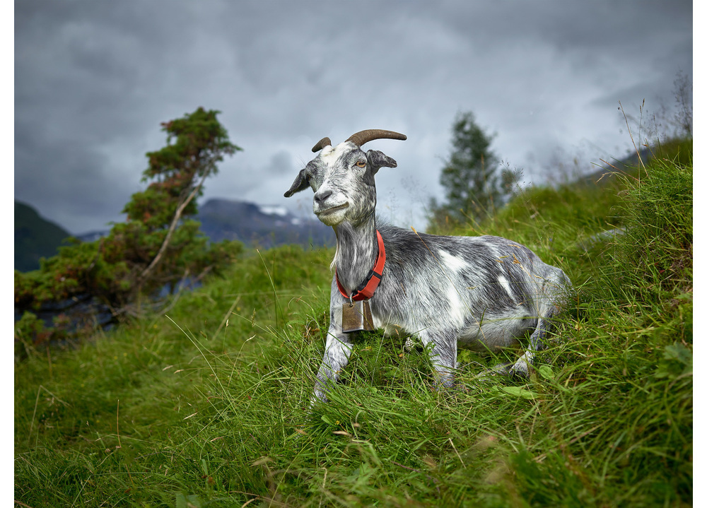 Old Goat, Geiranger Fjord, Norway