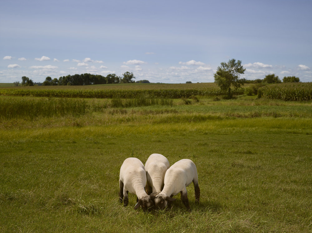 Ovid's Green Pasture