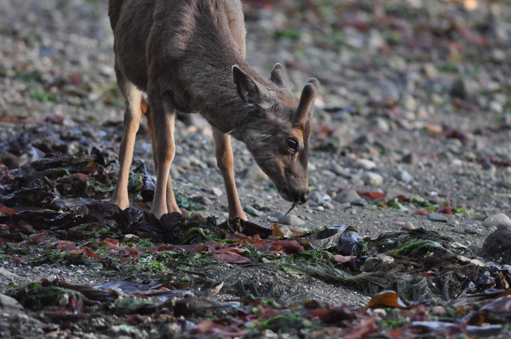 deer eating intertidal.JPG