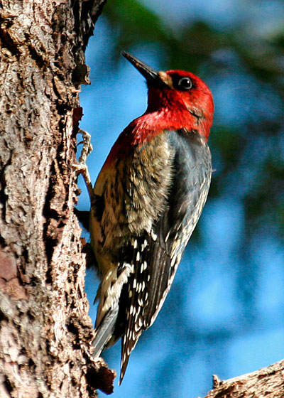 Red-breasted-Sapsucker---Jo.jpg
