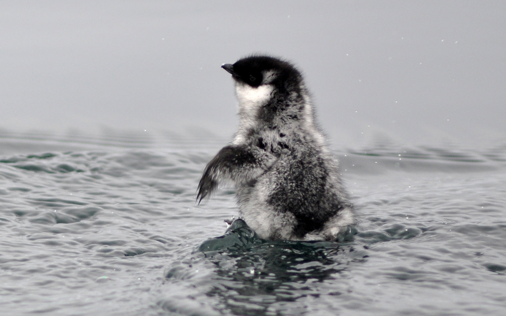 Ancient Murrelet chick.jpg