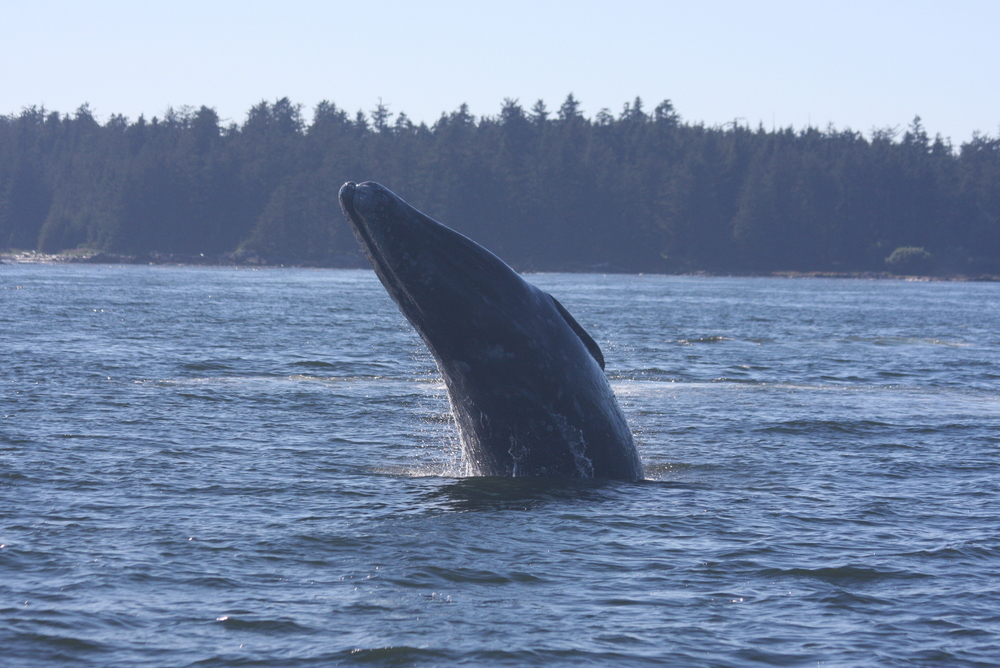 Lunging Gray Whale, Clayoquot Sound, BC, Kyle.jpg