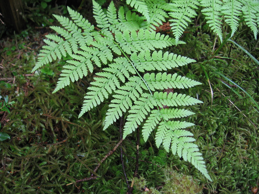 Spiny wood ferns_JP.07.jpg