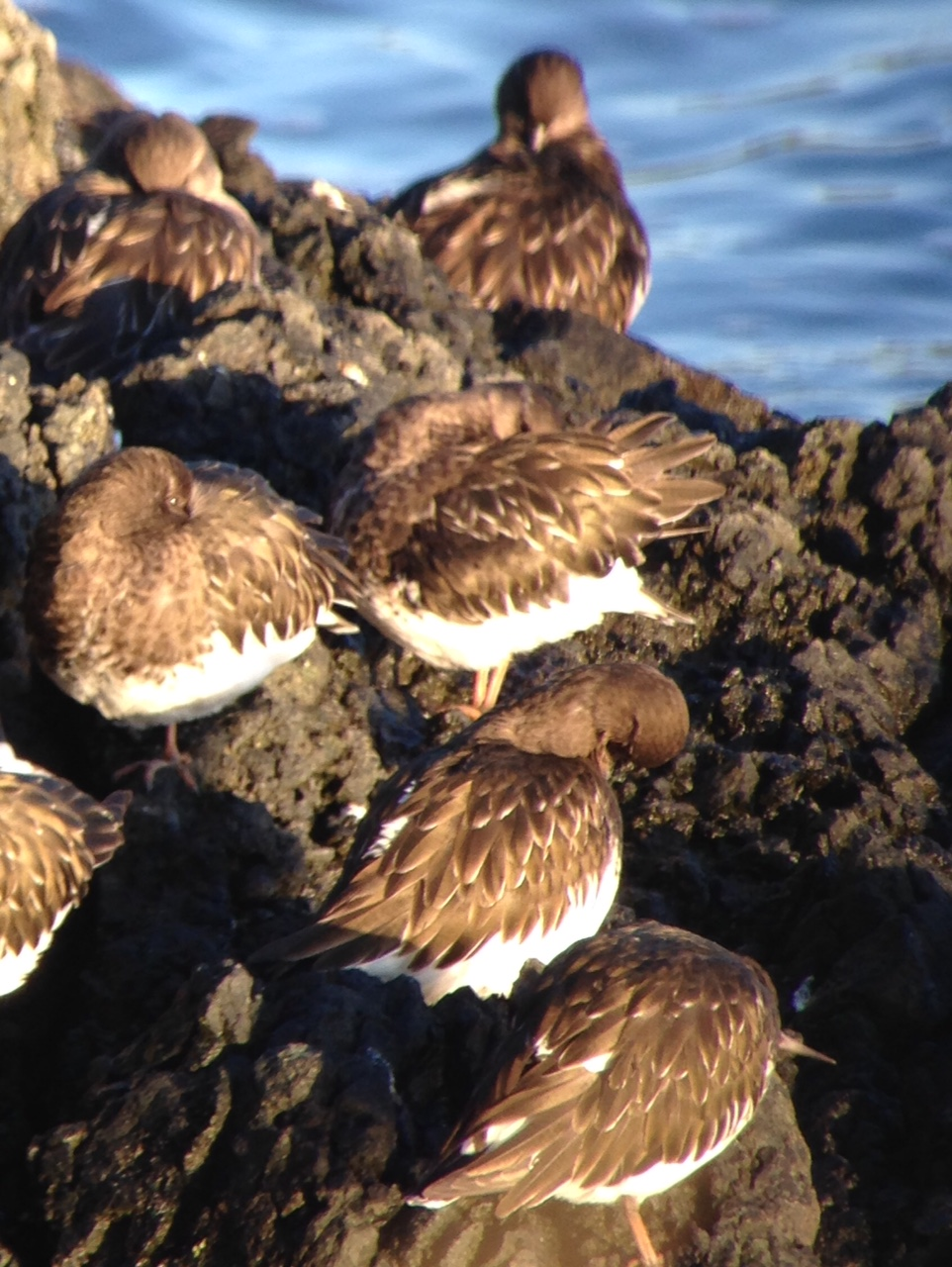 Black Turnstones / Ts'iik'alt'axung in the Scope