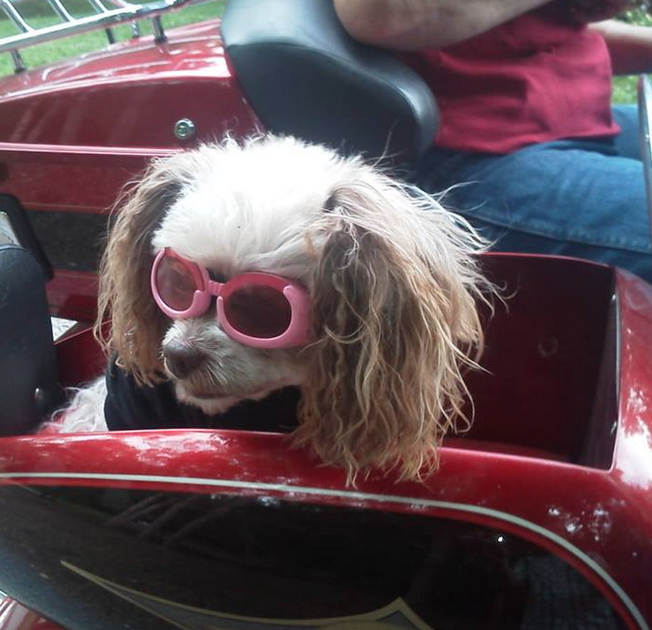 Dog in pink doggles in a motorcycle side car
