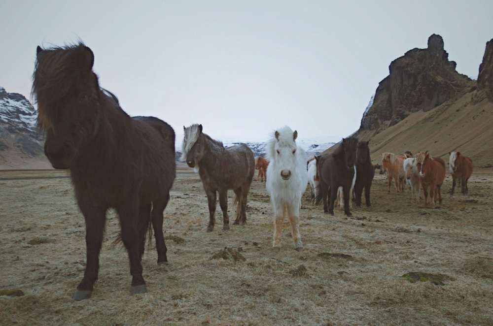 I love the Icelandic Horses